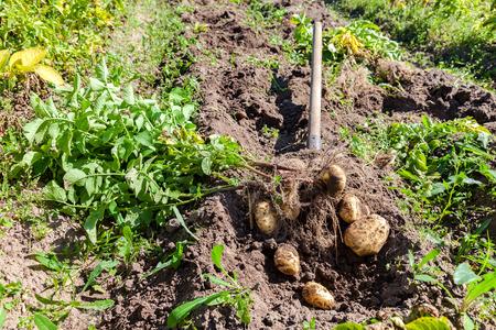 papas: Patatas de excavación con la pala en el campo desde el suelo. Patatas de cosecha en otoño Foto de archivo