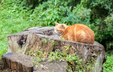 sleepiness: Cat sleeping on an old stump in summer day
