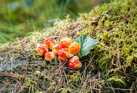 chicouté: Cloudberry on a green vegetative background in wood. Fresh wild fruit Banque d'images