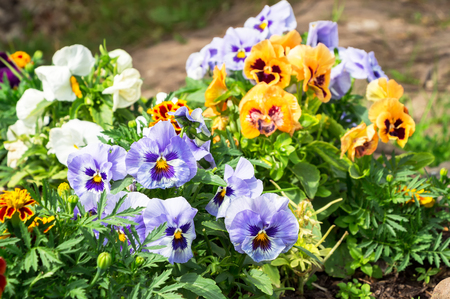 violas: Beautiful Pansies or Violas growing on the flowerbed in garden. Garden decoration