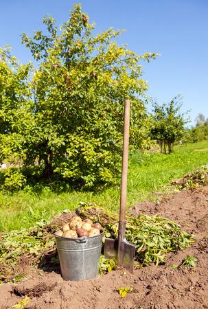 dug: Freshly dug potatoes in metal bucket and shovel on the field