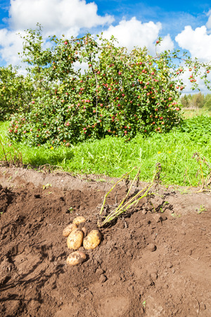 organically: First harvest of organically grown new potatoes in summer sunny day