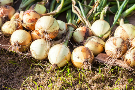Freshly dug organic onion drying on the grass in summer sunny day Stock Photo