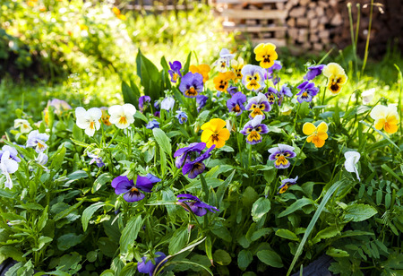 violas: Beautiful Pansies or Violas growing on the flowerbed in garden Stock Photo