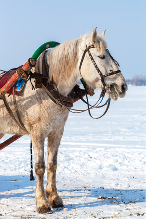 White horse with harness in winter sunny day Stock Photo