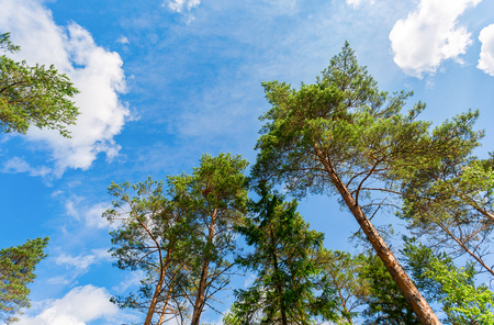 Crowns of tall pine trees above his head in the forest against a blue sky