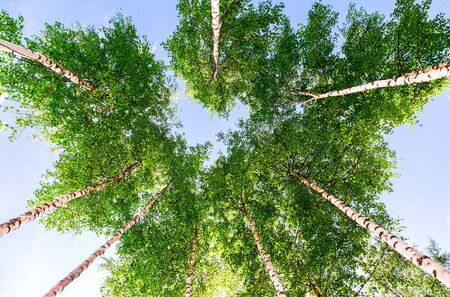 Crowns of tall birch trees in the forest against a blue sky. Deciduous forest in summertime Stock Photo