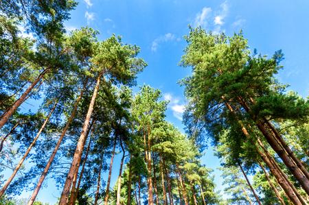 Kronen der hohen Kiefern im Wald gegen einen blauen Himmel am sonnigen Tag