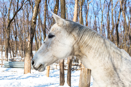 Head of a beautiful white horse at the farm in winter sunny day
