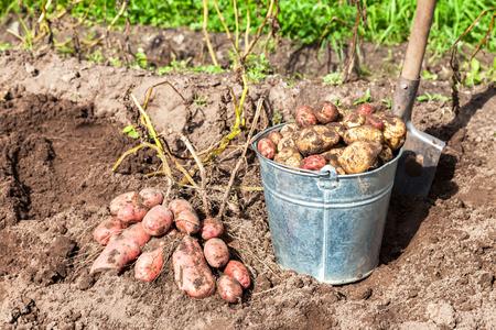 Freshly dug potatoes in metal bucket and shovel at the vegetable garden