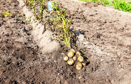 Freshly dug organic potatoes of new harvest and at the potatoes plantation. Potato harvest on the field