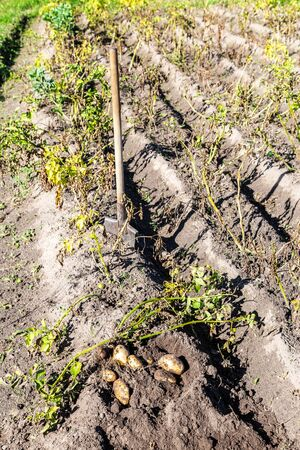 Freshly dug organic potatoes of new harvest and shovel at the potatoes plantation. Potato harvest on the field