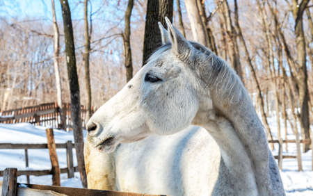Head of white horse at the farm in winter sunny day