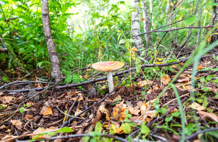 Red fly agaric mushroom in the summer forest. The toxic amanita mushroom