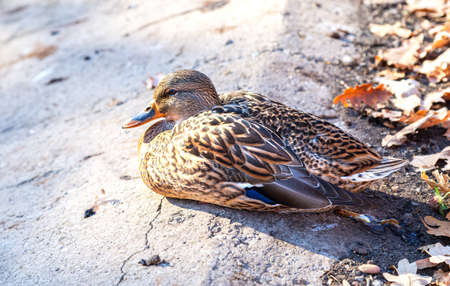 Duck basking in the sun on the shore of the pond close up