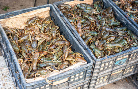 Fresh live river gray crayfish in plastic crates. Fresh uncooked raw crayfish at the local farmers market ready to sale