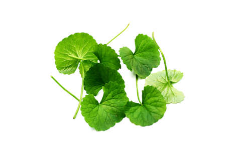 Indian Pennywort Stock Photo