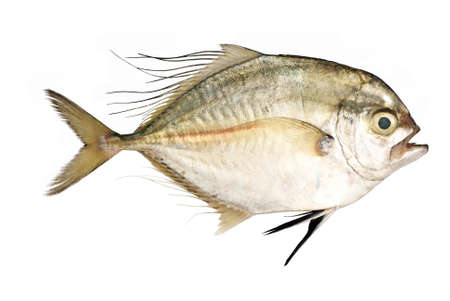 filamentous: Threadfin Travelly - Alectis ciliaris