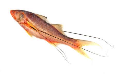 spat: Juvenile Salmon Threadfin - Polydactylus macrochir