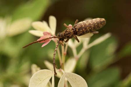 horn beetle: Long Horn Beetle - Cerambycidae sp.