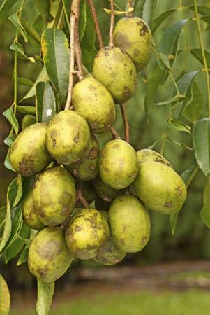 tahitian: Tahitian Apples Ripening on Tree