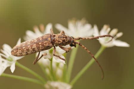 horn beetle: Flat Face Long Horn Beetle - Order Cerambycidae sp  on a Sprig of Flowering Leek