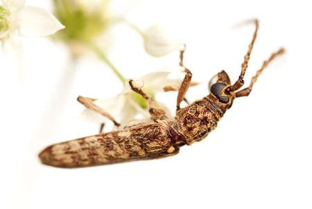 Long Faced Long Horn Beetle, Cerambycidae sp
