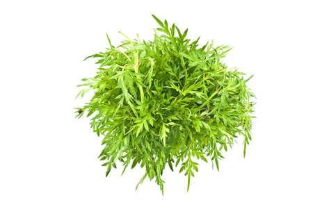 rajah: Kings Salad or Ulam Rajah- Cosmos cautadus Stock Photo