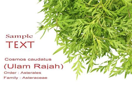 rajah: Rey ensalada o Ulam Rajah - Cosmos cautadus con espacio de copia