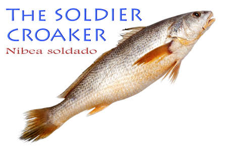 soldier fish: Soldier Croaker on Isolated White Background - Nibea soldado,  Lacepède, 1802 Stock Photo