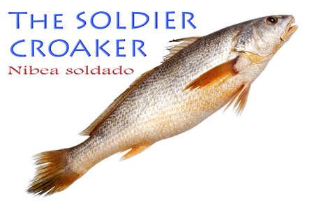 Soldier Croaker on Isolated White Background - Nibea soldado,  Lacepède, 1802 Stock Photo