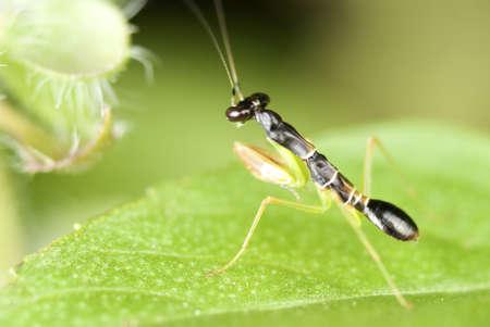 Baby Praying Mantis on a Lemon Basil Leaf