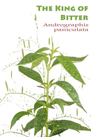 bitter: The King of Bitter Herb also known as Andrographis paniculata