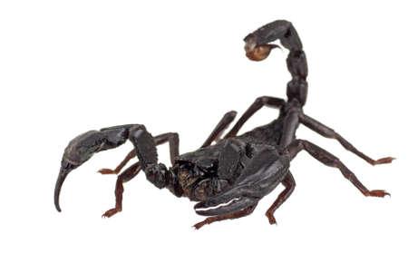 escorpio: Scorpian de bosques asiáticos también conocido como Heterometrus longimanus
