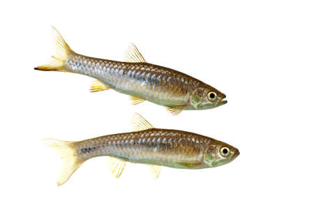A Pair of Rasbora Myersi also known as Myer's Rasboras Stock Photo - 10062301