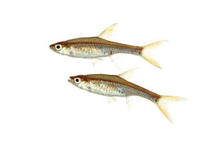 spat: A Pair of Rasbora pauciperforata also known as Red Line Rasboras