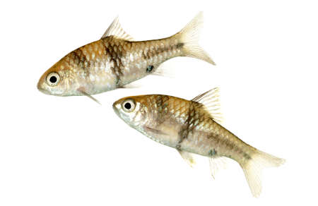 A Pair of Juvenile Barbodes lateristriga also known as Spanner Barbs or T-Barbs photo