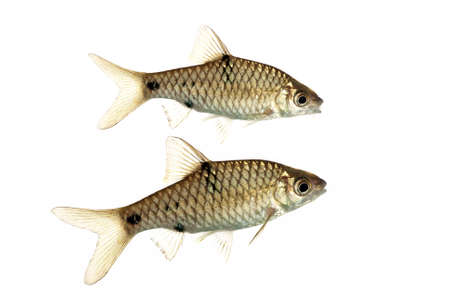 A Pair of Puntius Banksi also known as Saddle Barbs Stock Photo - 10062308