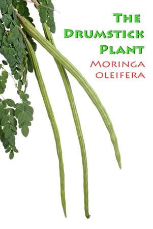 oleifera: La planta de baquetas, tambi�n conocido como Moringa oleifera Foto de archivo