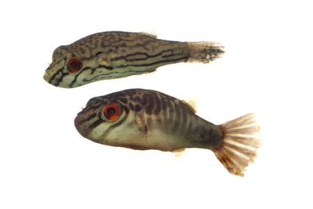 A Pair of Carinotetraodon salivator also known as Zerba Puffers Stock Photo - 10062300