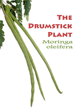 The Drumstick Plant also known as Moringa oleifera photo