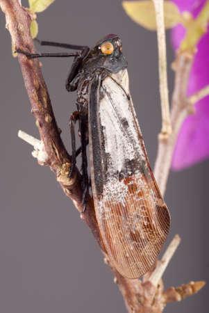 cicada bug: Plant Hopper - Calyptoproctus sp