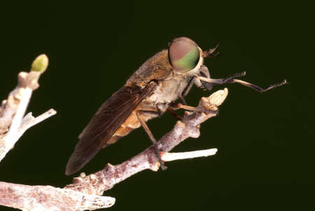 pollinators: Female Horse Fly - Tabanus sp.