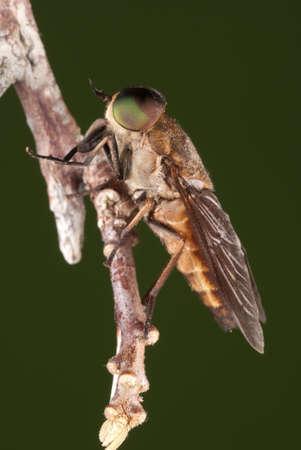 tabanidae: Female Gadfly - Tabanus sp.