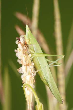 Long Nosed Grasshopper on Stalk of Elephant Grass Bloom Stock Photo - 10587914