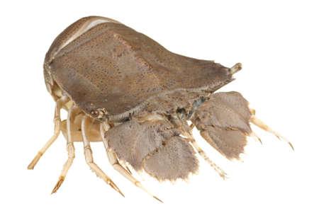 slipper: Slipper Lobster