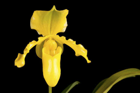 Paphiopedilum sp  Stock Photo - 11131894