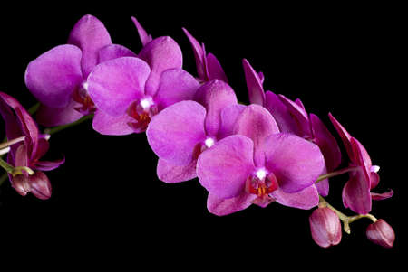 Purple Phalaenopsis sp photo