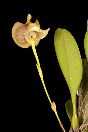 Bulbophyllum grandiflorum Stock Photo - 11738558
