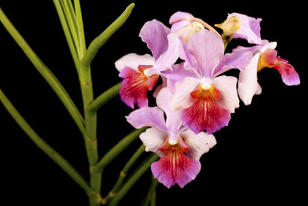 Vanda Miss Joaquim with Terete Leaves